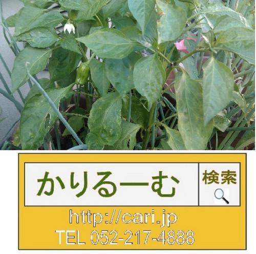 庭でピーマン栽培